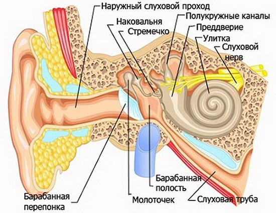 Ухо анатомия